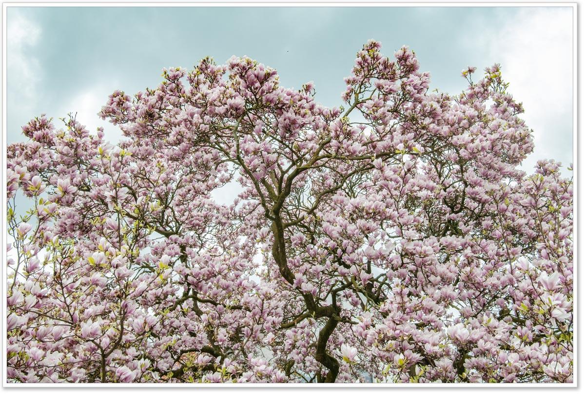 Magnolie voller rosafarbener Blüten