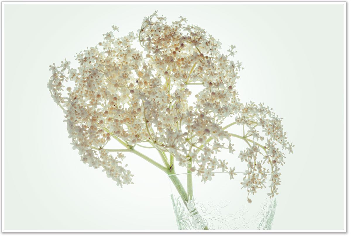 Holunderblütendolde
