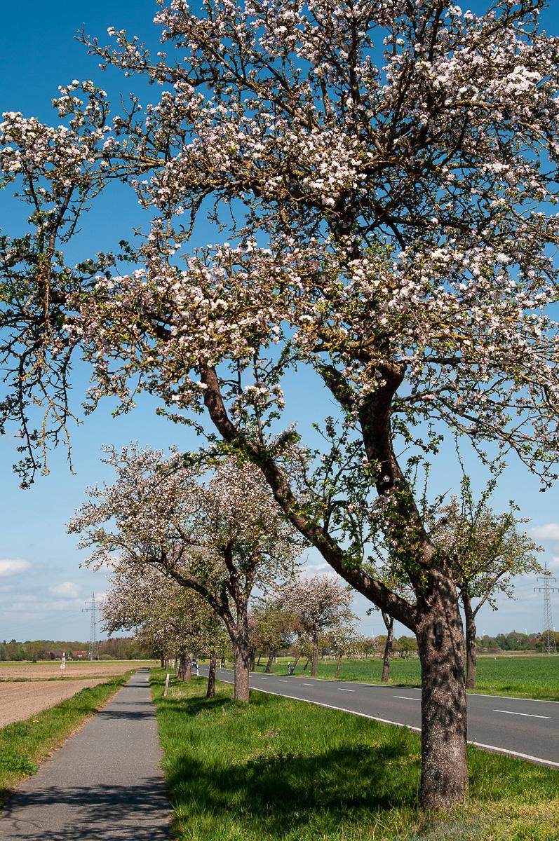 Apfelblüten im Vollfrühling