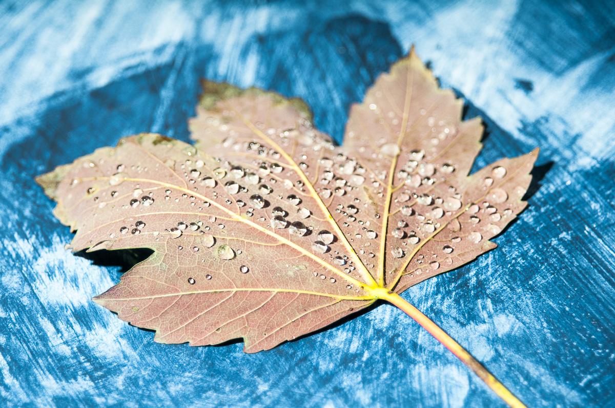 Wassertropfen auf einem Ahornblatt