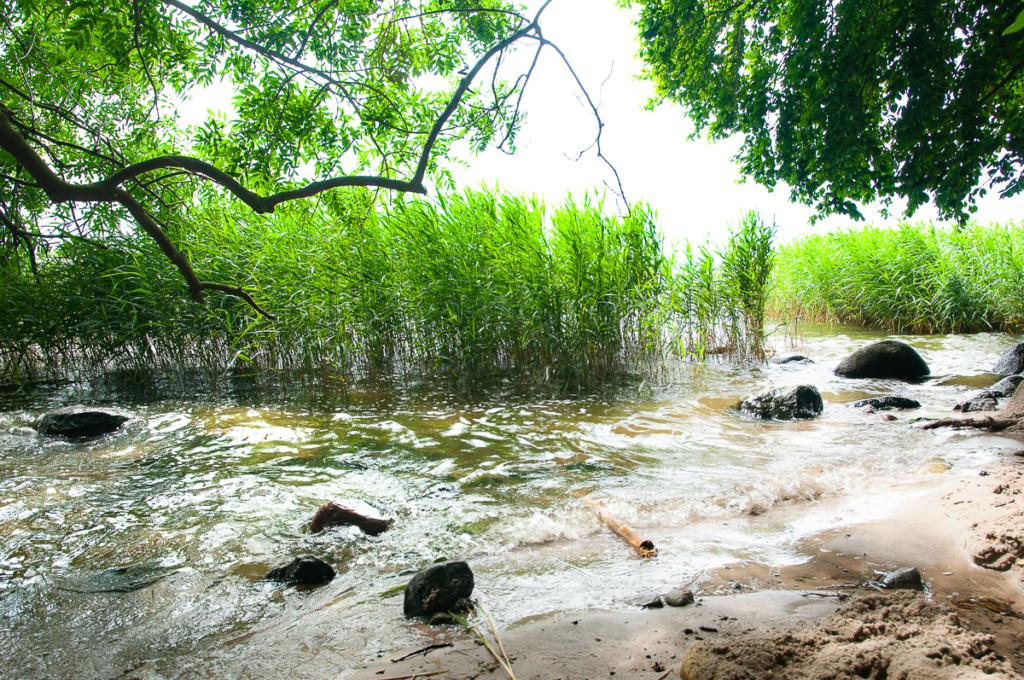 Schilf im Wasser, Ufer unter Bäumen